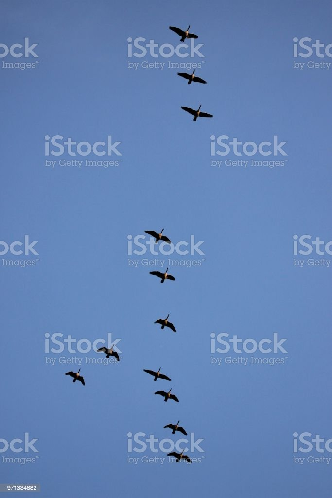 flying Canada goose in a team