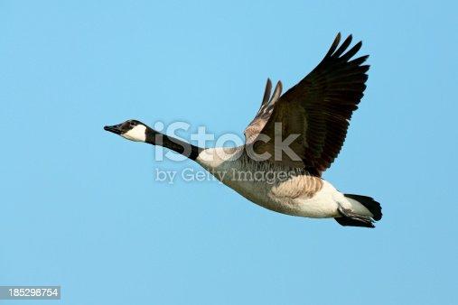 Flying Canada Goose (Branta canadensis).
