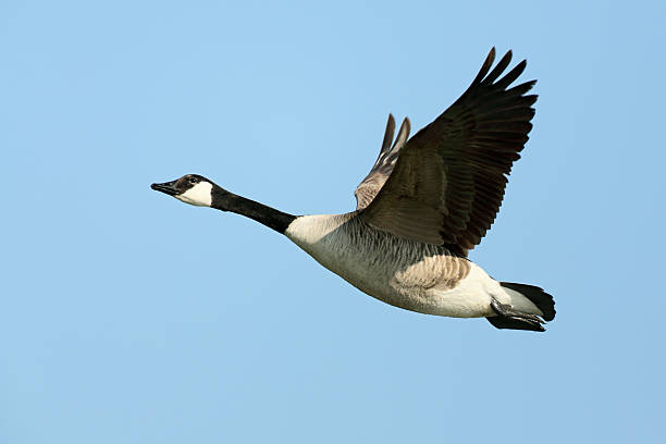 Flying Canada Goose (Branta canadensis) Flying Canada Goose (Branta canadensis). canada goose stock pictures, royalty-free photos & images