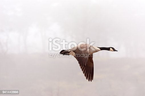 Flying Canada Goose (Branta canadensis) flying during a misty morning. Copy space