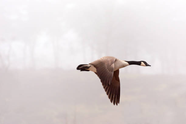 Flying Canada Goose (Branta canadensis) Flying Canada Goose (Branta canadensis) flying during a misty morning. Copy space canada goose stock pictures, royalty-free photos & images
