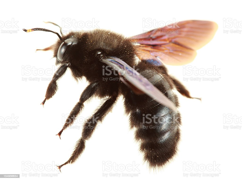 Flying carpenter bee isolated on white stock photo