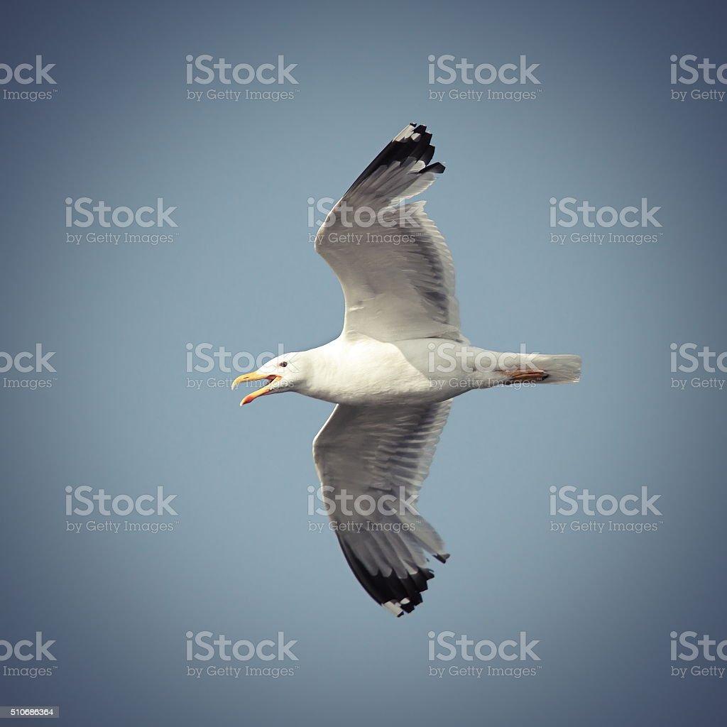 flying caspian gull stock photo