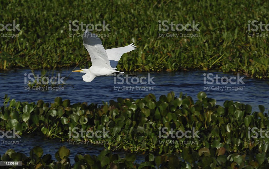 Flying Cattle Egret royalty-free stock photo