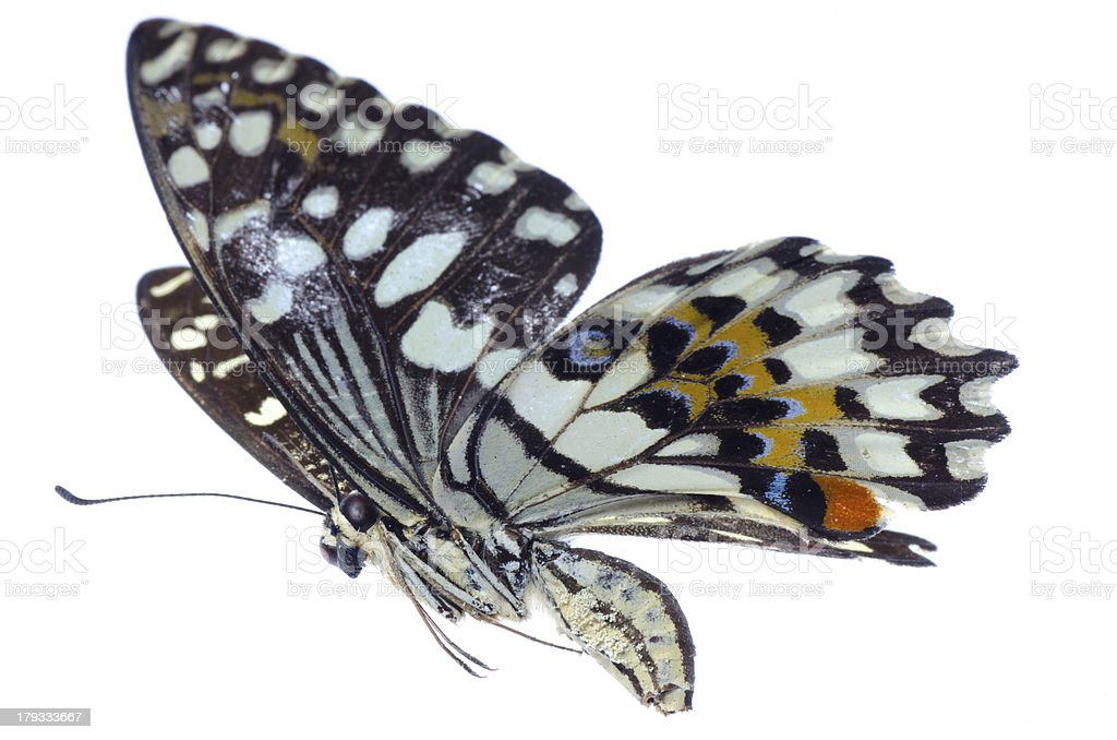 flying citrus swallowtail lime butterfly stock photo