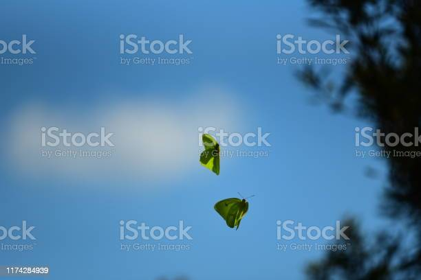 Flying cloudless sulphur butterflies wafting pheromones picture id1174284939?b=1&k=6&m=1174284939&s=612x612&h=rqold e13qtxwxra1rvam7f0nrw0m8abksb bj0zmck=