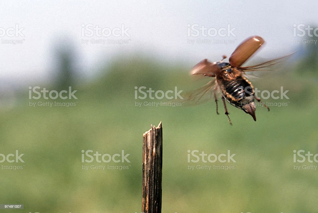 Flying cockchafer royalty-free stock photo