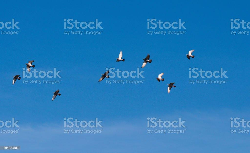flying Columba palumbus royalty-free stock photo