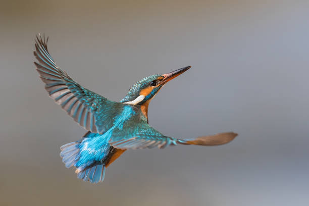 Flying common kingfisher (Alcedo atthis) Flying female common kingfisher (Alcedo atthis) kingfisher stock pictures, royalty-free photos & images