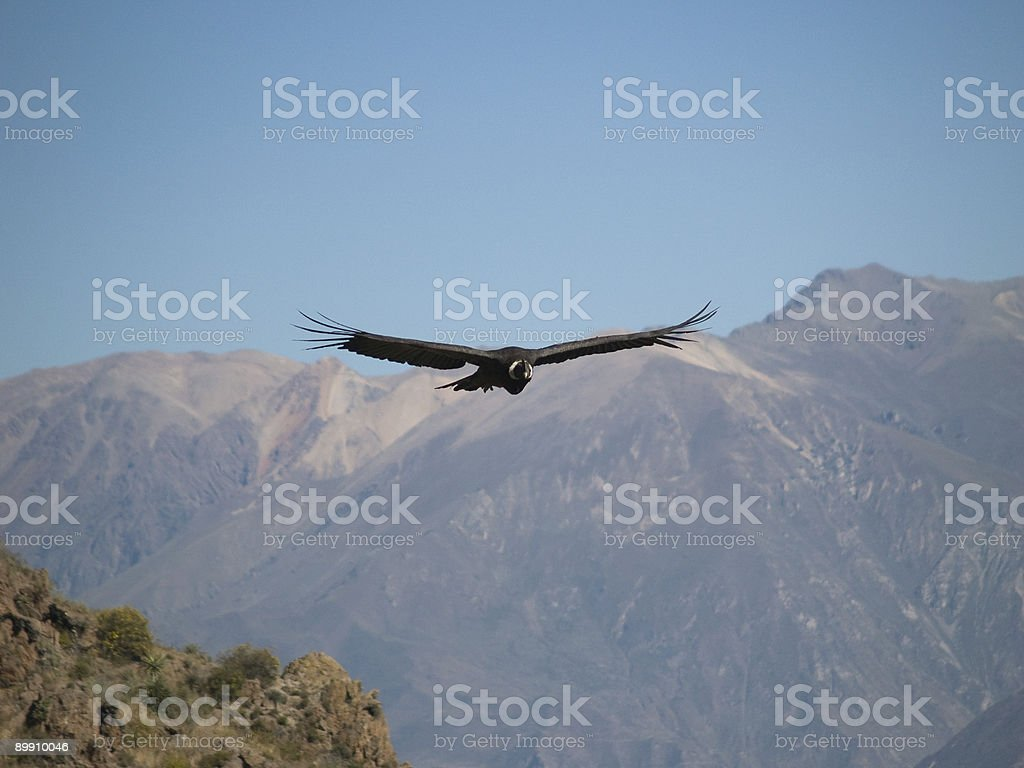 Flying condor in the Colca canyon,Peru royalty-free stock photo