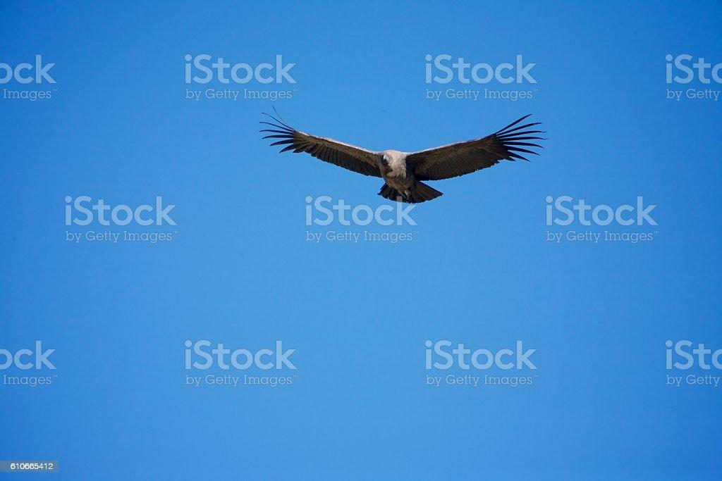 Flying condor stock photo