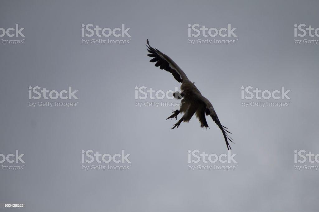 Volant Condor - Photo de Aile d'animal libre de droits