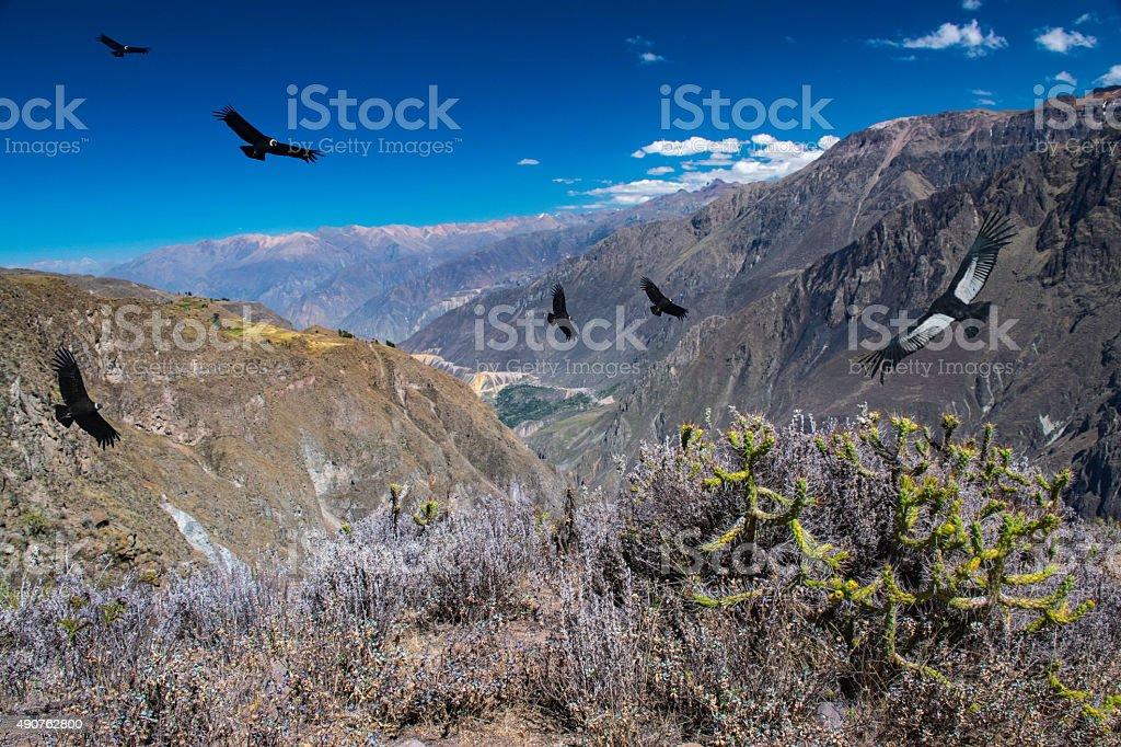Flying condors above Colca Canyon, Peru stock photo