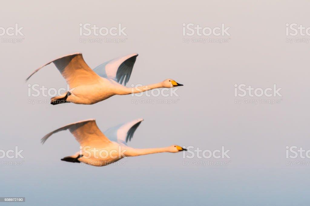 Flying couple Whooper Swans stock photo