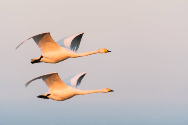 Flying couple Whooper Swans Beautiful flying couple of Whooper Swans in the early morning sunshine lake waterfowl stock pictures, royalty-free photos & images
