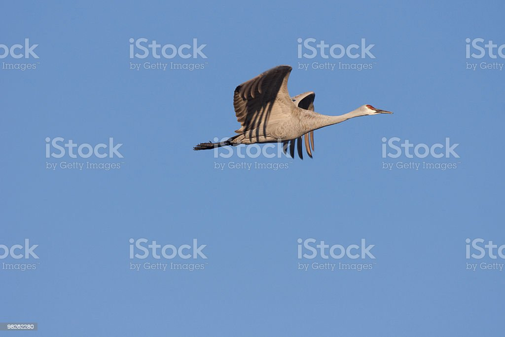 Flying Crane royalty-free stock photo
