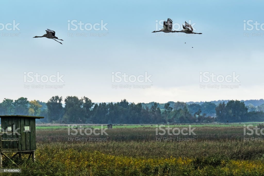 Flying cranes (Grus grus) at Western Pomerania lagoon area stock photo