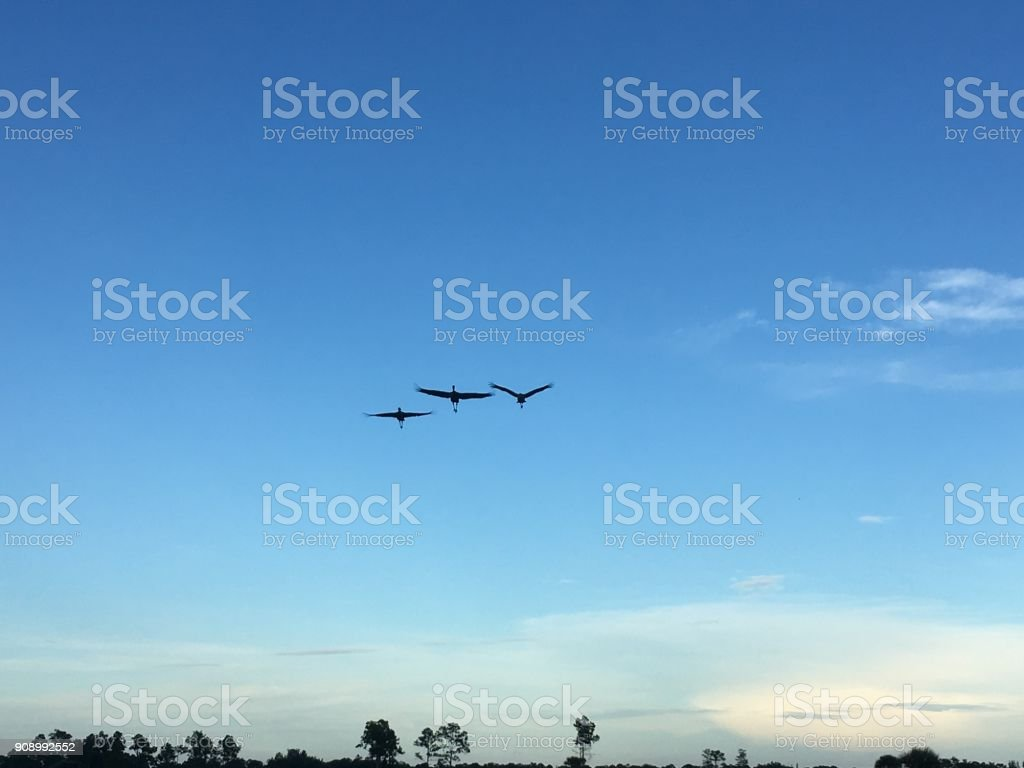 sand-hill cranes flying in the blue sky during the day
