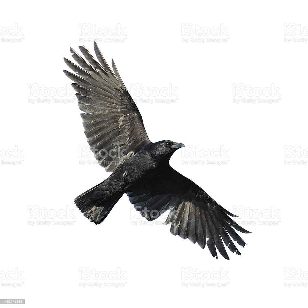 Flying crow isolated on white stock photo