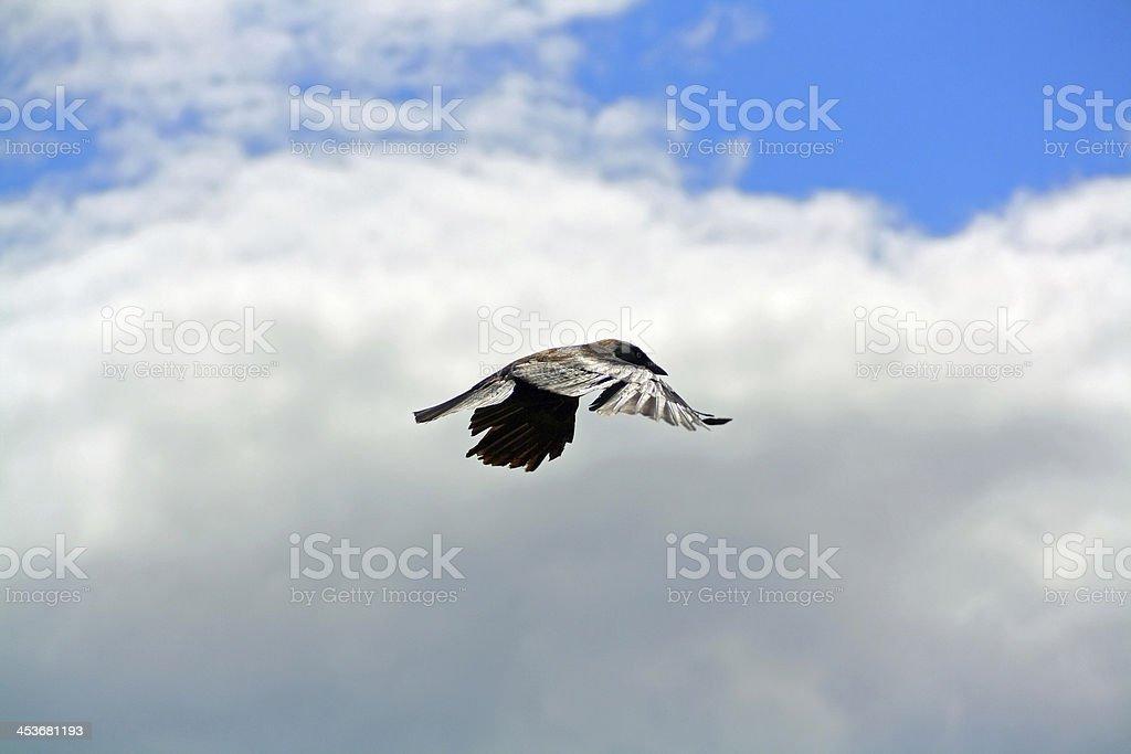 Flying Crow stock photo