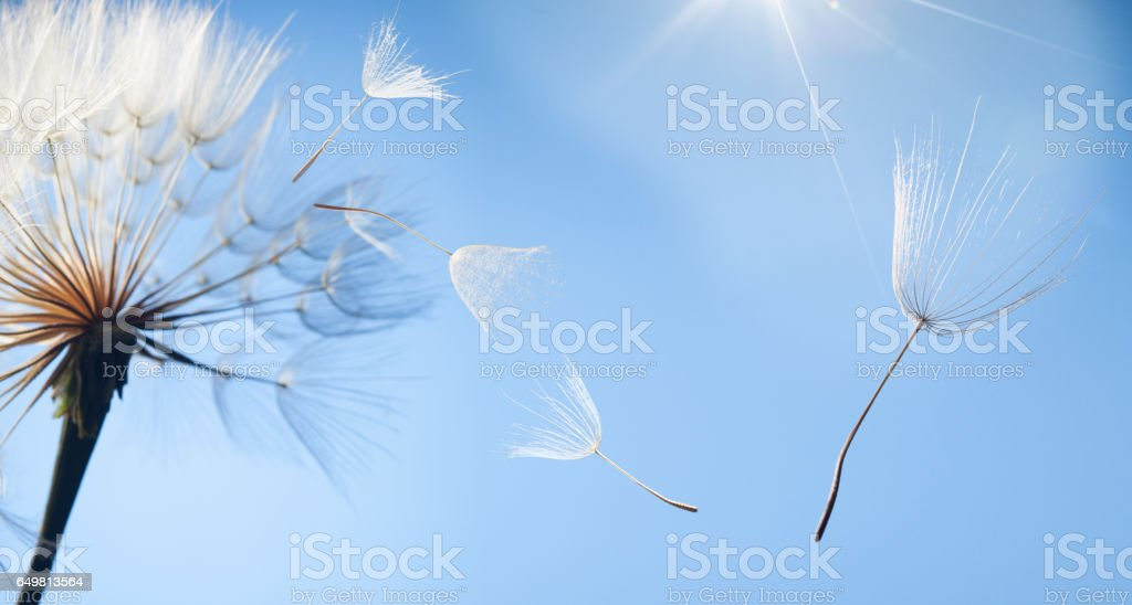 flying dandelion stock photo
