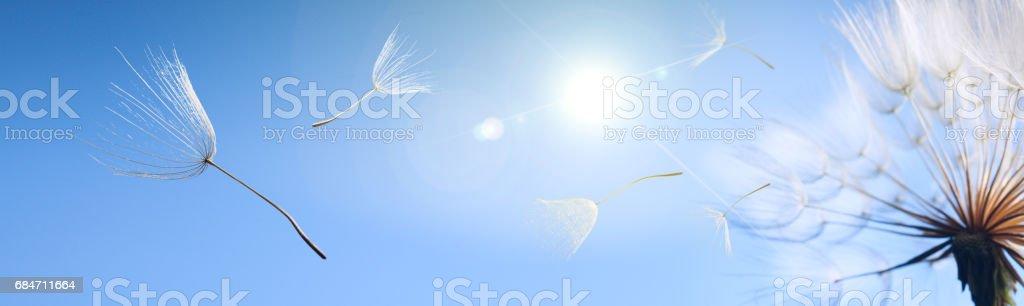 flying dandelion - Photo