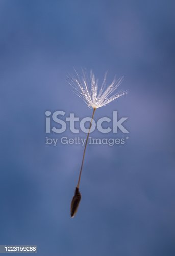 184093103 istock photo Flying Dandelion Seed Close-up on a blue background. 1223159286