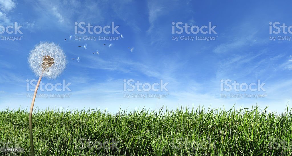 Flying Dandelion Seeds in the Wind stock photo