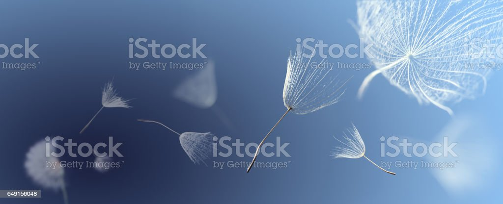flying dandelion seeds on a blue background stock photo