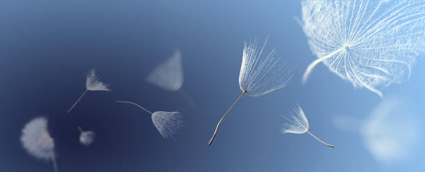 flying dandelion seeds on a blue background - blowing stock photos and pictures