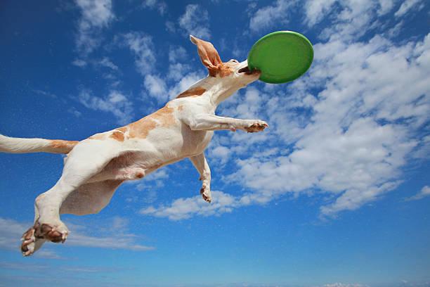 Flying dog picture id527070761?b=1&k=6&m=527070761&s=612x612&w=0&h=5phynyy1dd3omfczsqhe0llrryvpljuyza4nxywmklm=