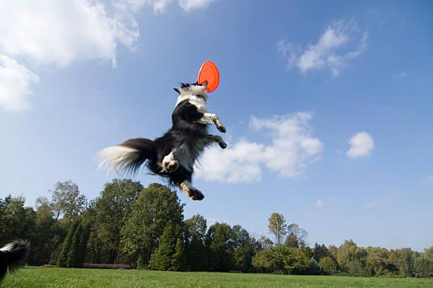 Flying dog picture id94738098?b=1&k=6&m=94738098&s=612x612&w=0&h=xws6toyq1cxiek39qyzjaayjbna0bb8nmdpg0yxhzbu=