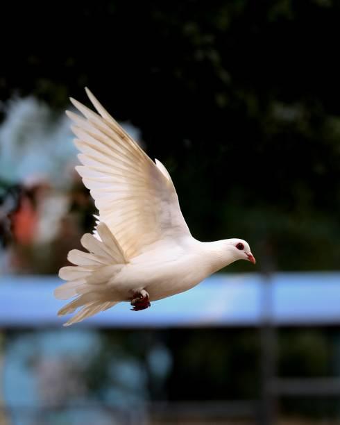 Fliegende Taube – Foto