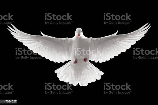 Flying dove picture id147024327?b=1&k=6&m=147024327&s=612x612&h=arthoojmxqxhaxglo1glruo54pmfk1c0qci7hdxbaic=
