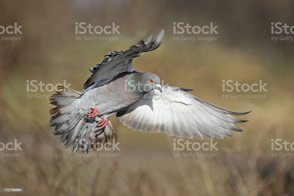 Flying Dove royalty-free stock photo