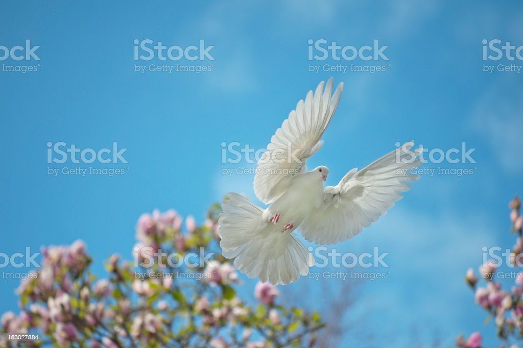 Flying Dove royalty-free stock photo