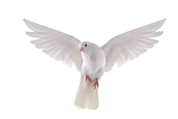 flying dove free flying white dove isolated on a white background pigeon stock pictures, royalty-free photos & images