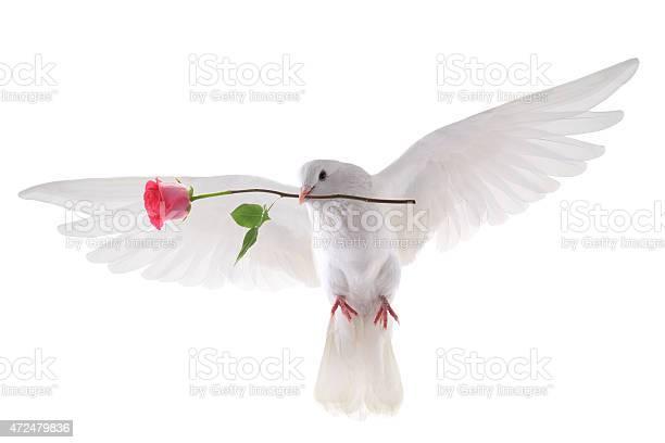 Flying dove picture id472479836?b=1&k=6&m=472479836&s=612x612&h=rkrmqaeruvparktibitepizrzcqkuxgylz3v2qqvqae=