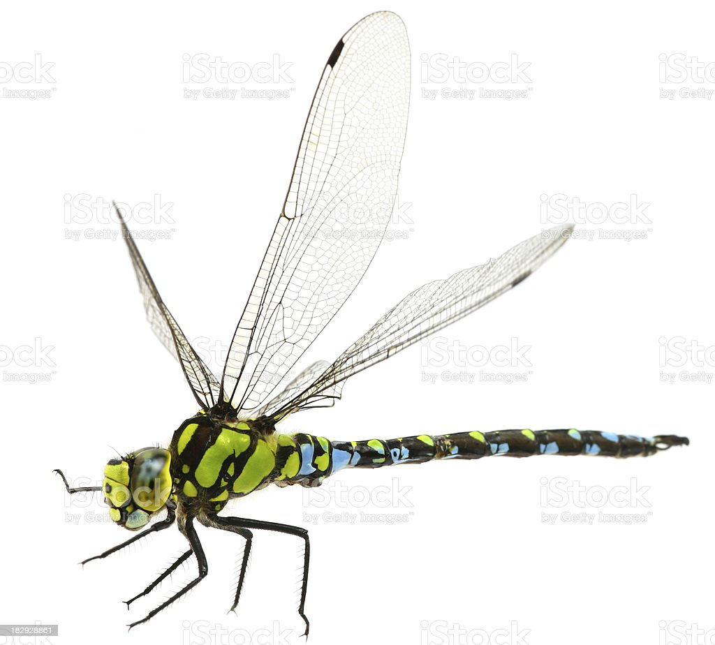 flying dragonfly stock photo