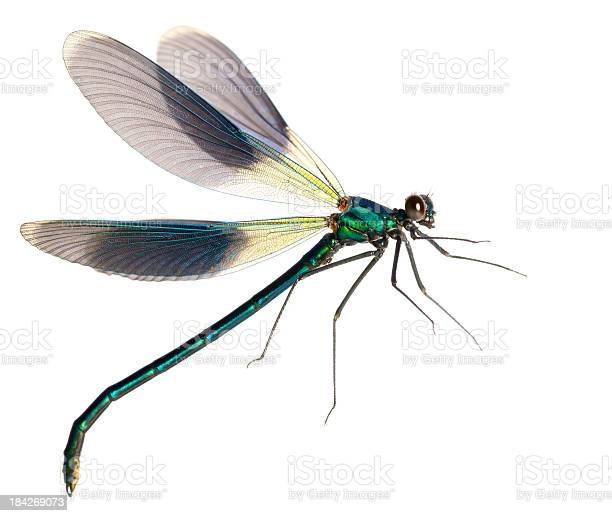 Flying dragonfly picture id184269073?b=1&k=6&m=184269073&s=612x612&h=roswtfd0m 66nuoox54yv4xcpktko4sygtkms9feha0=