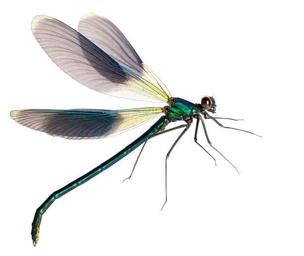 Flying dragonfly picture id184269073?b=1&k=6&m=184269073&s=612x612&w=0&h=aneewhhju0j cnmuhyuhx9x v6g2lsbyrauftdil4g4=