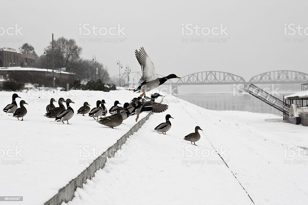 Flying duck royalty-free stock photo