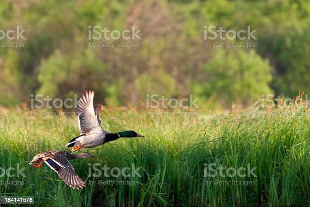 Flying ducks picture id184141578?b=1&k=6&m=184141578&s=612x612&h=tv21vme0ahmdjktoh2j23aptaxbpc9rexsoafakand8=