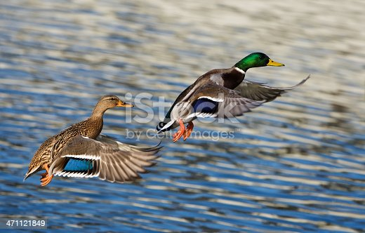 Two mallard ducks flying in front of the photographer. RAW-file developed with Adobe Lightroom. Please have a look at my other mallard duck- and duck photos.