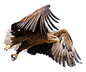Isolated Eagle in flight cutout on white