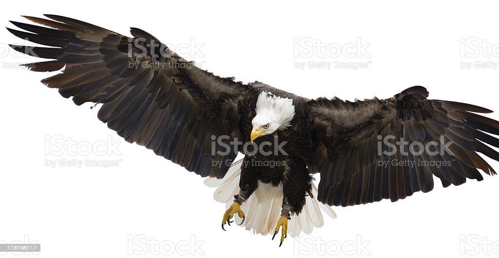 Flying eagle isolé sur fond blanc - Photo