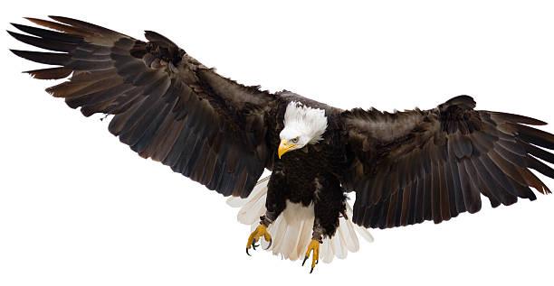Flying eagle isolated on white background stock photo