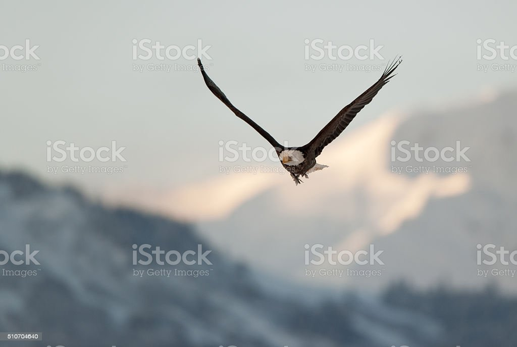 Flying eagle over snow-covered mountains. stock photo