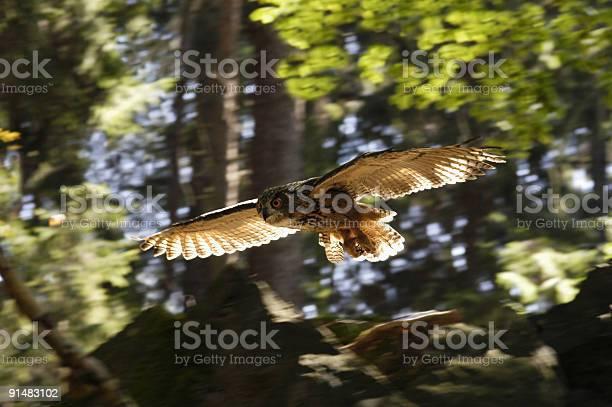 Flying eagle owl picture id91483102?b=1&k=6&m=91483102&s=612x612&h=ytmgz0bmpauyn wbp0f93jg3v7lbye4vsf8ebkzuguq=