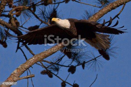 istock Flying Eagle 470509517